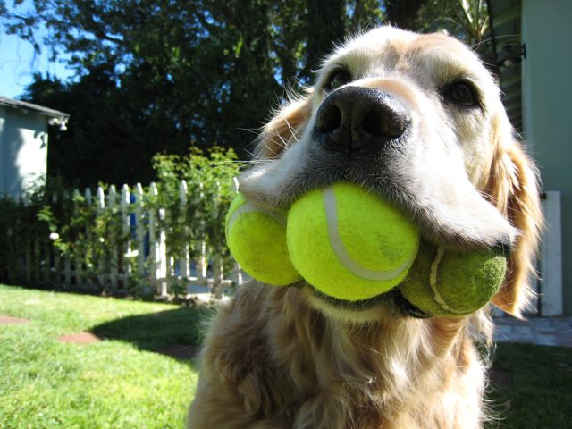 dog_with_3_tennis_balls
